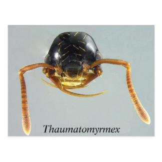Thaumatomyrmex Postcard