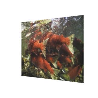 The Adams River sockeye run is one of the Canvas Print