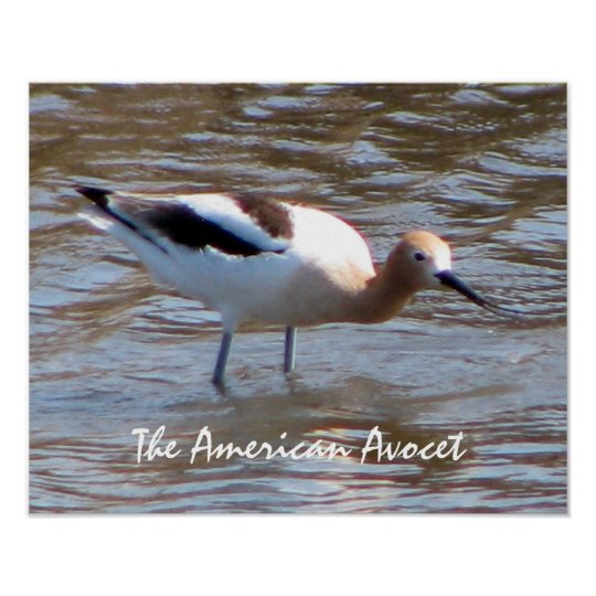 The American Avocet Wildlife Poster
