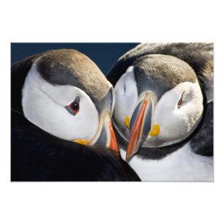 The Atlantic Puffin, a pelagic seabird, shown 2 Photo Print