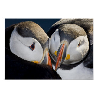 The Atlantic Puffin, a pelagic seabird, shown 2 Poster