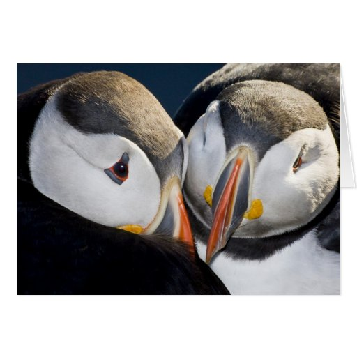 The Atlantic Puffin, a pelagic seabird, shown 3 Greeting Cards