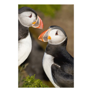 The Atlantic Puffin, a pelagic seabird, shown 3 Photo Print