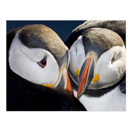 The Atlantic Puffin, a pelagic seabird, shown 3 Postcards