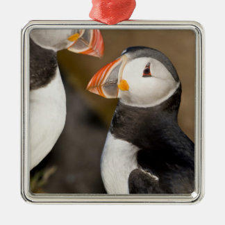 The Atlantic Puffin, a pelagic seabird, shown Christmas Ornament
