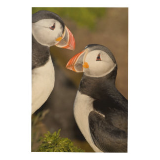 The Atlantic Puffin, a pelagic seabird, shown Wood Canvases