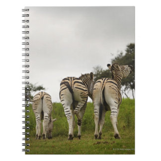 The backside of three zebras, South Africa Note Books