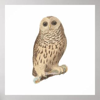 The Barred Owl(Ulula nebulosa) Poster