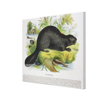 The Beaver, educational illustration pub. by the S Canvas Print