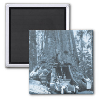 The Big Trees of Mariposa Grove Magnets