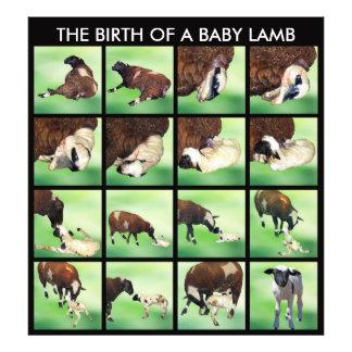 The birth of a baby lamb art photo