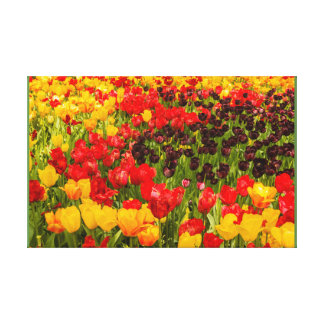 the blossoming of tulips in a park   canvas print