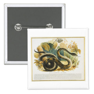 The Boa Constrictor, educational illustration pub. 15 Cm Square Badge