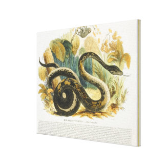 The Boa Constrictor, educational illustration pub. Canvas Print