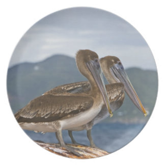 The Brown Pelican ( Pelecanus Occidentalis ) Dinner Plates