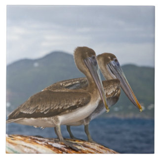 The Brown Pelican ( Pelecanus Occidentalis ) Large Square Tile