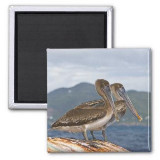 The Brown Pelican ( Pelecanus Occidentalis ) Magnet