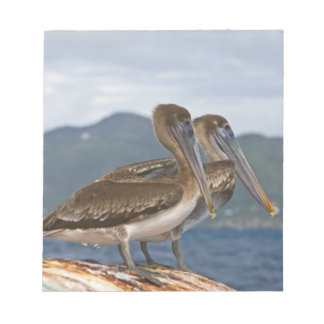 The Brown Pelican ( Pelecanus Occidentalis ) Notepad