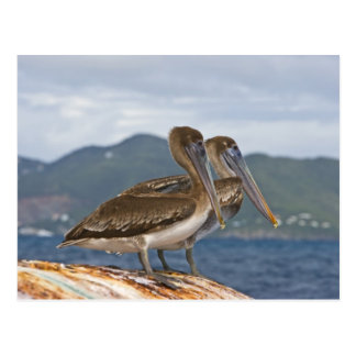 The Brown Pelican ( Pelecanus Occidentalis ) Postcard