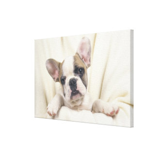 The Bulldog, often called the English Bulldog, 2 Canvas Print