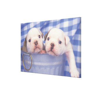 The Bulldog, often called the English Bulldog, Canvas Print