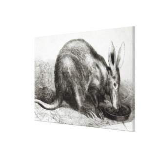 The Cape Ant-Eater Gallery Wrapped Canvas
