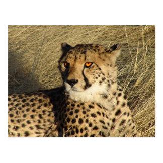 The Cheetah Postcard