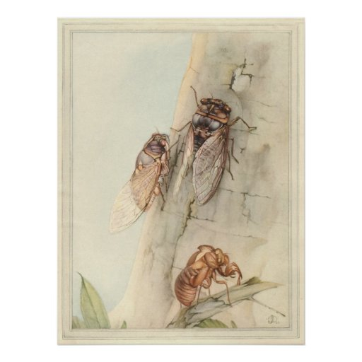 THE CICADA - Insect Book Illustration Poster