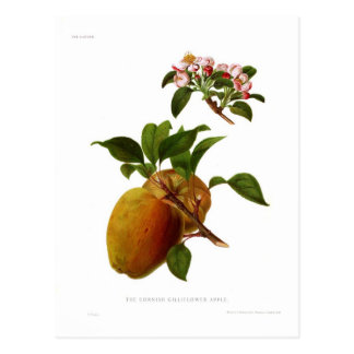The Cornish Gilliflower Apple Postcard