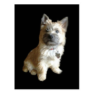 The Cutest Cairn Terrier Ever!  Cuter than Toto! Postcards