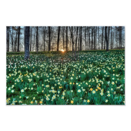 The Daffodils at Sunrise Photographic Print