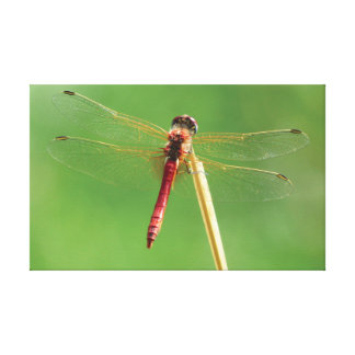 The Dragonfly. Canvas Print