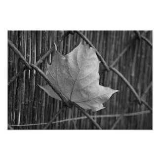 The Dry Maple Leaf - Photo Pront