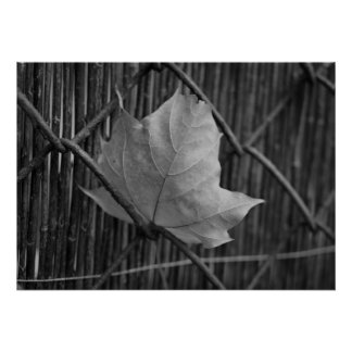 The Dry Maple Leaf - Poster