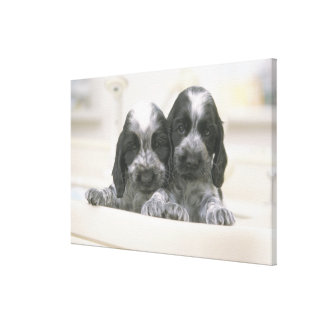 The English Cocker Spaniel is a breed of dog. It Stretched Canvas Prints