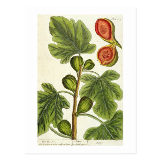 The Fig Tree, plate 125 from 'A Curious Herbal', p Postcard