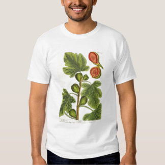 The Fig Tree, plate 125 from 'A Curious Herbal', p Shirt