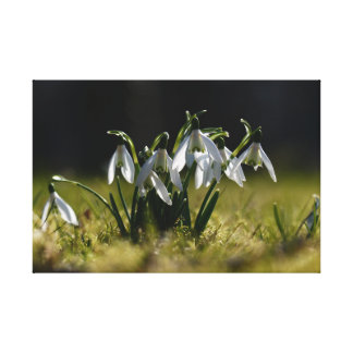 The first snowdrops canvas print