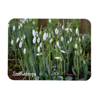 The First Snowdrops of Spring in Cornwall Magnet