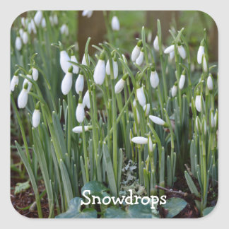 The First Snowdrops of Spring in Cornwall Square Sticker