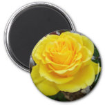 The First Yellow Rose Fridge Magnets