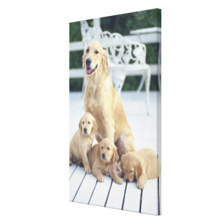 The Golden Retriever is a relatively modern and Canvas Print