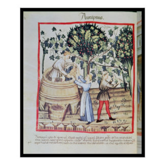 The Grape Harvest, 13th century Poster
