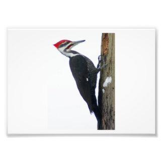 The Great Pileated Woodpecker 7x5 Photographic Pri Photo Print