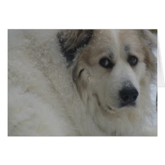 The Great Pyrenees, Gentle Giant 4 Card