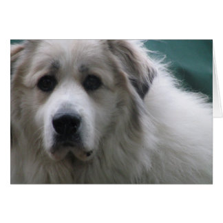 The Great Pyrenees, Gentle Giant Card