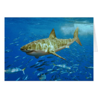The Great White Shark Carcharodon Carcharias Cards