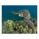 The Green Sea Turtle, (Chelonia mydas), is the 2 Print
