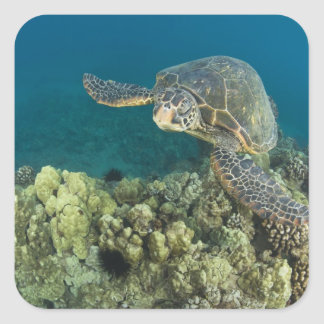 The Green Sea Turtle, (Chelonia mydas), is the 2 Square Sticker