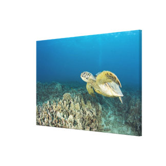 The Green Sea Turtle, (Chelonia mydas), is the 3 Canvas Print